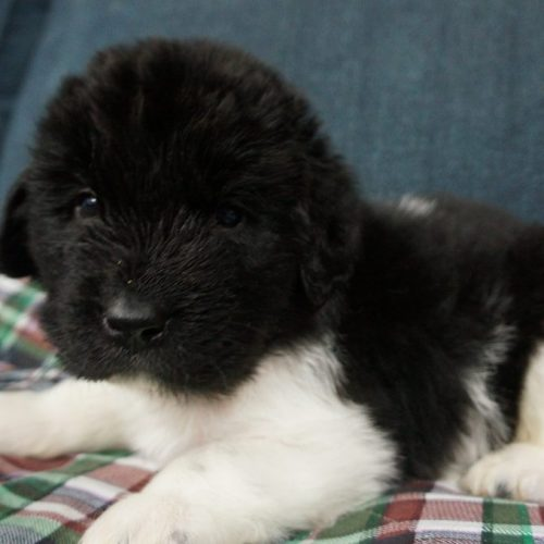 Puppies – Latin of Course Newfoundlands