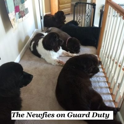 Newfies on Guard Duty