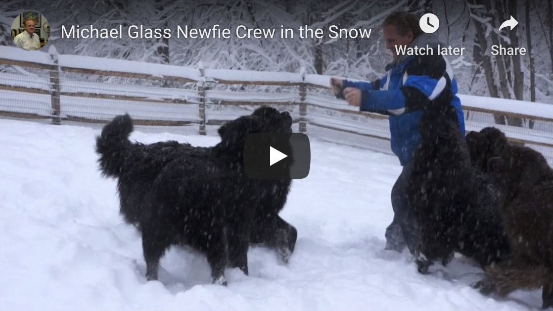Newfies in the snow