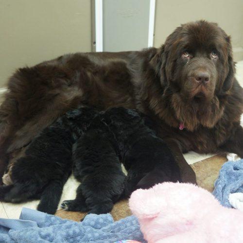 Mabel puppies 10.19.2019 3.5weeks 005