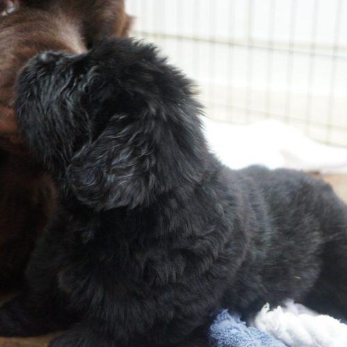 Mabel puppies 10.19.2019 3.5weeks 027