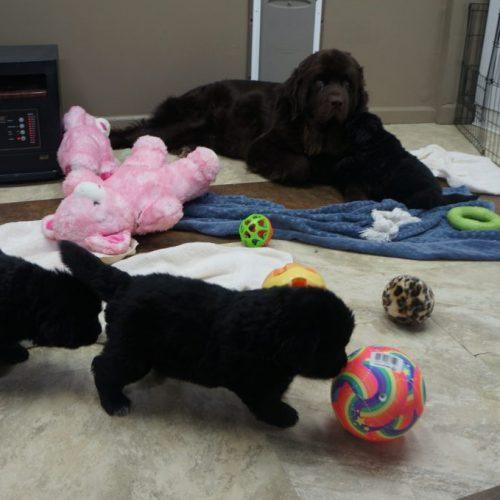 Mabel puppies 10.19.2019 3.5weeks 094